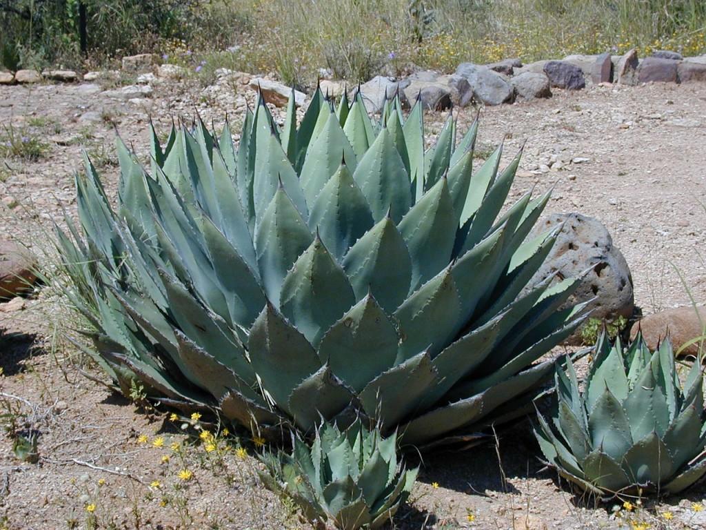 Die Agave: Aus dieser mutierten Weltraum-Artischoke macht man Tequila.
